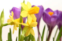 Crocuses and daffodils Royalty Free Stock Photos