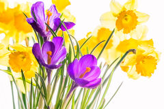 Crocuses and  daffodils, backlit. Purple crocuses and yellow daffodils backlit. Сlose up Royalty Free Stock Images