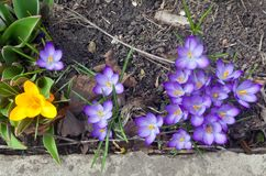 Crocuses are the early spring flowers on sunny day royalty free stock photos