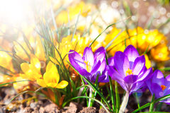 Crocuses field Royalty Free Stock Images