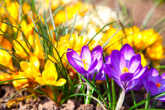 Crocuses field Royalty Free Stock Photo