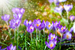 Crocuses field Royalty Free Stock Photos