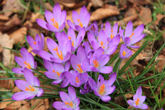 Crocuses on a field Stock Images