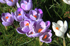 Crocuses on a field Royalty Free Stock Photography
