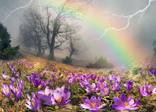 Crocuses are the first flowers in the mountains Stock Photos