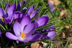 Crocuses - first spring flowers Royalty Free Stock Photos