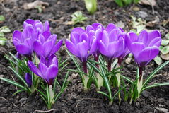 Crocuses. First spring flowers. lilac crocuses Royalty Free Stock Photography