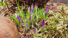Crocuses. First spring crocuses. Focused. Purple stock image