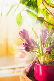 Crocuses in flower pot on  window in sunlight Stock Image