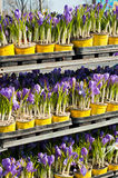Crocuses in flower shop Royalty Free Stock Photos