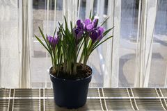 Crocuses in a flowerpot royalty free stock images