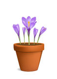 Crocuses in flowerpot vector illustration Royalty Free Stock Image