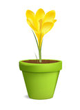 Crocuses in Flowerpot Vector Illustration Isolated Royalty Free Stock Image