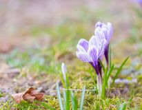 Crocuses flowers Stock Photography