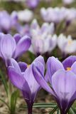 Crocuses flowers Crocus, blooming in natural conditions. Close-up. Macro. Royalty Free Stock Image