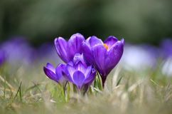 Crocuses flowers in garden on a sunny day Royalty Free Stock Images