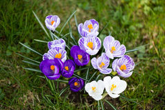 Crocuses flowers. A group of crocuses in the grass. Stock Photos