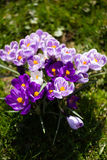 Crocuses flowers. A group of crocuses in the grass. Royalty Free Stock Images