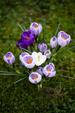 Crocuses flowers. A group of crocuses in the grass. Royalty Free Stock Photography
