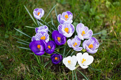 Crocuses flowers. A group of crocuses in the grass. Royalty Free Stock Image