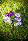 Crocuses flowers. A group of crocuses in the grass. Stock Photography