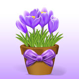 Crocuses flowers in pot on white background. Stock Photo