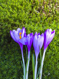Crocuses flowers Royalty Free Stock Photos