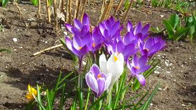 Crocuses flowers stock footage