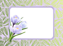 Crocuses and frame Royalty Free Stock Image