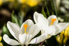 Crocuses in full bloom. Spring has come, anemones and crocuses in full bloom with bright yellow and white color royalty free stock photography