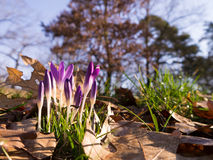 Crocuses in Germany Royalty Free Stock Images