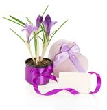 Crocuses, the gift box decorated with tapes Stock Images