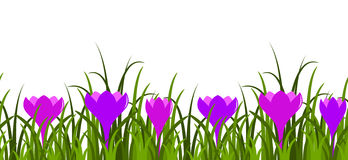 Crocuses and grass border Royalty Free Stock Photo