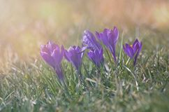 Crocuses on the grass in the light of the rising sun. royalty free stock photo