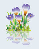 Crocuses. Grass and spring flowers. Stock Image