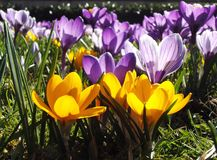 Crocuses. Group bicolor crocuses from the frog's perspective Stock Images