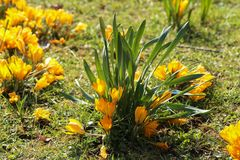 Crocuses. / A group of  in the grass royalty free stock photography