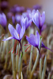 Crocuses stock images