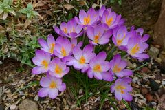 Crocuses. / A group of  in the grass royalty free stock photo