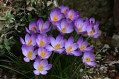 Crocuses. / A group of  in the grass stock photos