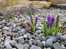 Crocuses. / A group of  in the grass stock photo