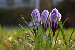 Crocuses. A group of crocuses in the grass royalty free stock images