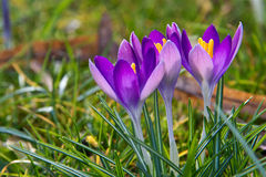 Crocuses. A group of crocuses in the grass stock photography