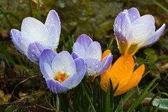 Crocuses. A group of crocuses in the grass royalty free stock image