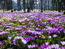Crocuses in the Hague Stock Image