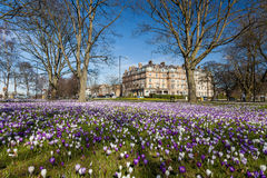 Crocuses on Harrogate stray Stock Images