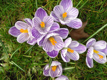 Free Crocuses In Spring Stock Image - 59602181