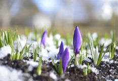 Crocuses In The Snow Royalty Free Stock Images