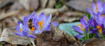 Honey bee gathering pollen on spring crocus in NYS. Crocuses are in the Iris family, Iridaceae, sub family Crocoideae, and the genus Crocus. They come in many royalty free stock photo