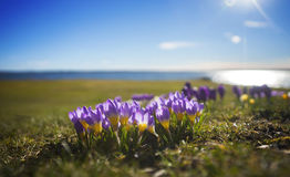 Crocuses by lake Stock Image